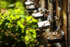 Hives in an apiary with bees flying to the landing boards in a g Stock Photo