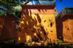 Hives in an apiary with bees flying to the landing boards in a g Stock Image