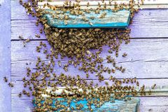 Hives in an apiary with bees flying to the landing boards in a green garden. Honey bee drone trying to enter the hive on a landing. Board, closeup Royalty Free Stock Image