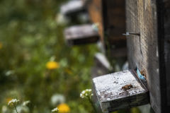 Hives in decline with few bees left alive after the Colony colla Royalty Free Stock Photos