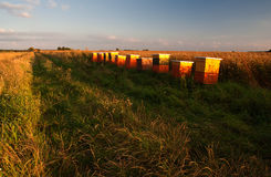 Hives on rape field Stock Photography
