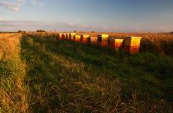 Hives on rape field Stock Photography