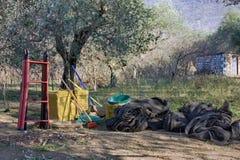 Hjälpmedel för manuell samling av oliv är i trädgården bland olivträd Royaltyfri Bild