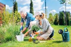 Hjälpsam mogen man som sammanfogar hennes härliga fru, medan böka upp ogräsen arkivfoton