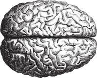 hjärna Arkivbild
