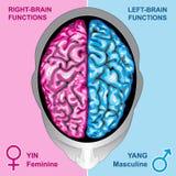 hjärnan fungerar mänskligt vänstert höger sida Arkivfoto