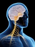 Hjärnan och nervsystemet royaltyfri illustrationer