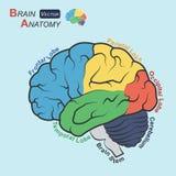 Hjärnanatomi (den plana designen) (Frontal lob, stam för temporal lob, för Parietal lob, för Occipital lob, lillhjärnan-, hjärn) stock illustrationer
