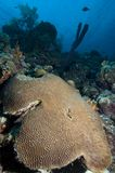 Hjärnkorall på korallreven i det karibiskt arkivbild