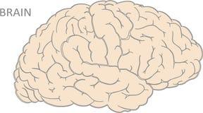 hjärnor royaltyfri illustrationer