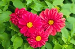 Hjärta av de härliga rosa färgerna blommar i natur Arkivbilder
