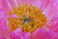 Hjärta av en rosa pion Royaltyfri Bild