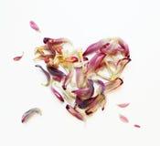 Hjärta av purpurfärgade och rosa kronblad av blommor på vit bakgrund Royaltyfria Foton