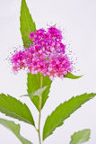 Hjärta-formad rosa Viburnuminflorescence Fotografering för Bildbyråer