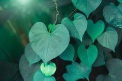Hjärta formade det gröna skrynkliga bladet av korallvinrankan eller kedjan av förälskelse arkivbild
