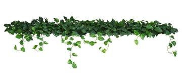 Hjärta formade gräsplangulingsidor av murgrönan för jäkel` s eller den guld- pothosen royaltyfria foton