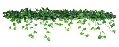 Hjärta formade gräsplangulingsidor av murgrönan för jäkel` s eller den guld- pothosen fotografering för bildbyråer