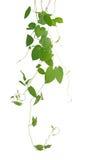 Hjärta-formade gröna bladklättringvinrankor som isoleras på den vita backgroen royaltyfri bild