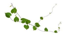 Hjärta formade gröna bladvinrankor som isoleras på vit bakgrund, gem royaltyfri fotografi