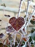 Hjärta format fryst blad Arkivfoto