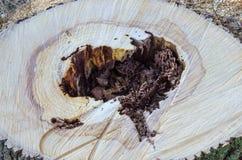 Hjärta i stammen av ett träd Arkivfoto