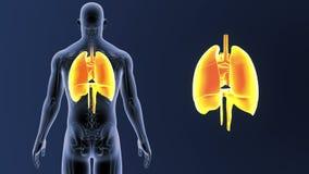 Hjärta-, lunga- och membranzoom med den skelett- kroppen arkivfilmer