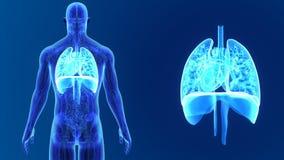 Hjärta, lungor och membranen zoomar med anatomi arkivfilmer