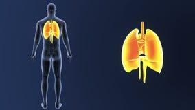 Hjärta, lungor och membranen zoomar med det cirkulations- systemet arkivfilmer