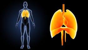 Hjärta, lungor och membranen zoomar med föregående sikt för kropp stock illustrationer