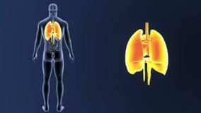 Hjärta, lungor och membranen zoomar med organ lager videofilmer