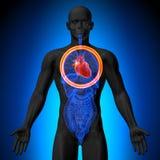 Hjärta - manlig anatomi av mänskliga organ - röntgenstrålesikt vektor illustrationer