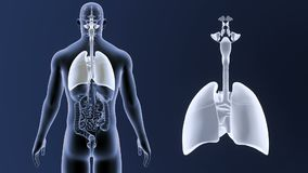 Hjärta- och lungazoom med organ vektor illustrationer