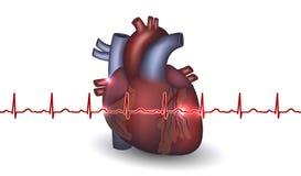 Hjärtaanatomi och kardiogram på en vit bakgrund Arkivbild