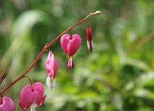 Hjärtablomma- eller lamprocapnosspectabilis eller blödande hjärta Royaltyfri Fotografi