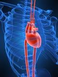 hjärtahuman vektor illustrationer