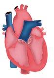 hjärtahumanillustration Royaltyfri Fotografi
