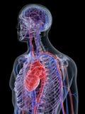 Hjärtan och det kärl- systemet vektor illustrationer