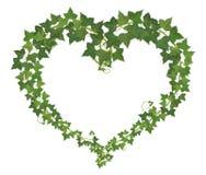 Hjärtasymbol som bildas från murgröna Arkivbilder