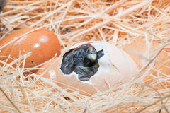 Hjälplös liten fågelunge fortfarande som är våt, når att ha kläckt Royaltyfri Fotografi
