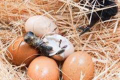 Hjälplös liten fågelunge fortfarande som är våt, når att ha kläckt Royaltyfria Foton
