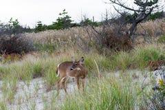 Hjort-i--busksnår-på--Atlanten-kust Arkivfoton