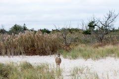 Hjort-i--busksnår-på--Atlanten-kust Royaltyfria Foton