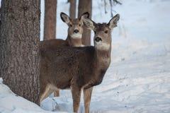 Hjort lismar i träden Royaltyfri Bild
