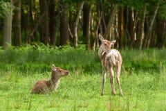 hjort lismar red Arkivfoton