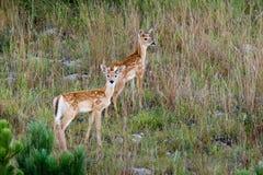 hjort lismar tailed white Royaltyfri Fotografi
