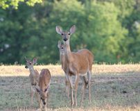 Hjort och lismar Royaltyfri Foto