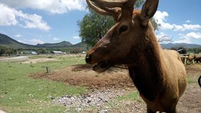 Hjort poserar för foto Royaltyfri Foto