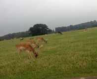Hjort som betar på knaprigt grönt gräs Arkivbilder