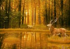 Hjort sparkar bakut i anseende för sommarsolnedgångljus i en öppning i trän Royaltyfria Bilder