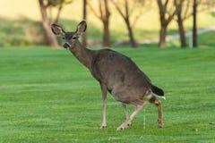 Hjort squats för att urinera på gräsfält Arkivbild